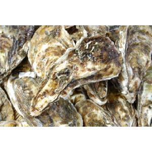 北海道厚岸産!殻付牡蠣(カキ)特大サイズ 1個|marutatsu