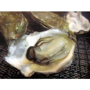 北海道厚岸産!殻付牡蠣(カキ)特大サイズ 1個|marutatsu|02