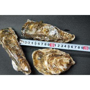 北海道厚岸産!殻付牡蠣(カキ)特大サイズ 1個|marutatsu|03