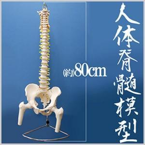 人体脊髄模型 人体模型 可動型脊髄模型 椎間板付き 骨 人体 脊柱模型 神経 脊髄 骨標本 胸椎 腰椎 骨格 仕組み|masuda-shop