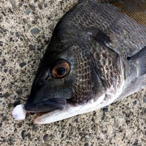NEVER LATE JAPAN フジツボっち チヌ落とし込み釣りフジツボ型ルアー ゆうパケットでも送れます|masuoka