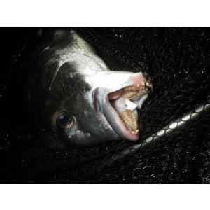 NEVER LATE JAPAN フジツボっち チヌ落とし込み釣りフジツボ型ルアー ゆうパケットでも送れます|masuoka|04