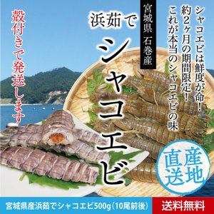 お中元に/蝦蛄/ シャコ エビ /ガサエビ/石巻産