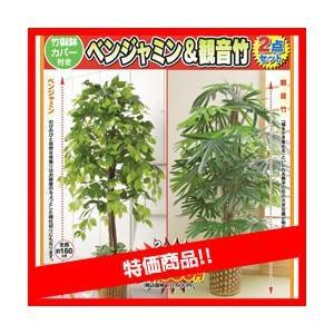限定販売 ベンジャミン&観音竹 特別2個セット 大型 観葉植物店舗やリビングにもお勧め 観葉 植物|matsucame