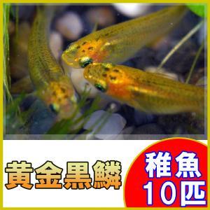 (メダカ)黄金黒鱗めだか 稚魚 SS-Sサイズ 10匹セット / 黄金黒鱗メダカ