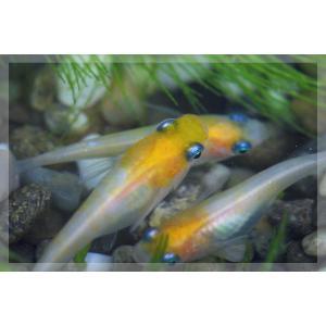 (メダカ)白黄みゆき(幹之)めだか 未選別 稚魚 SS-Sサイズ 10匹セット