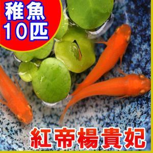 (メダカ)紅帝楊貴妃めだか 稚魚 SS-Sサイズ 10匹セット