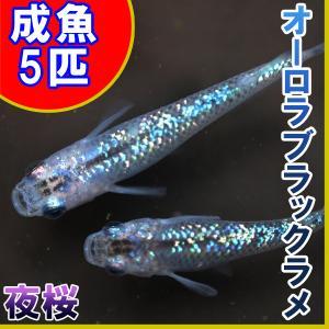 (メダカ)オーロラブラックラメめだか 虹色ラメ 5匹セット / 夜桜