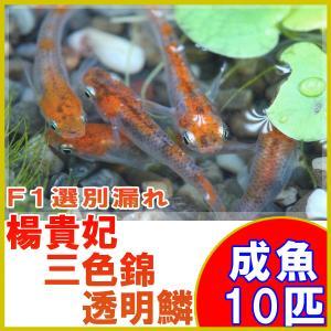 (メダカ)楊貴妃三色錦透明鱗めだかF1 10匹セット / 三色透明鱗メダカ