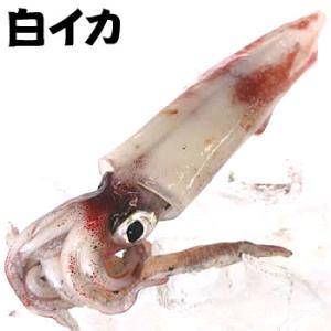 山陰浜坂港のお刺身用 最高級「白いか(ケンサキイカ)」(バラ・急速冷凍)ビッグサイズ 1杯(700〜790g程度)(白いか・しろいか・けんさきいか)|matubagani