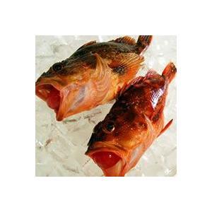 カサゴ(調理済・生冷凍) 1尾 約24-26cm前後 (浜坂産) (かさご・ガシラ)|matubagani