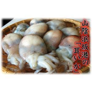 ミミイカ(冷凍) 小〜小小 500g前後(20-25匹入) (浜坂産) (耳いか・耳イカ・烏賊・ぼうずいか・ボウズイカ・釣・えさ・エサ・餌)|matubagani