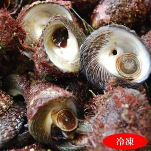 ニナ貝(しったか・みな貝)(ボイル冷凍)大 約400g(浜坂産)(バテイラ、なんこ、ナンコ、シッタカ、尻高)|matubagani