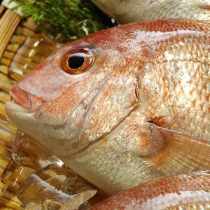 天然・真鯛(下処理済み・冷凍) 1尾 約36-38cm (浜坂産) (たい・タイ)|matubagani