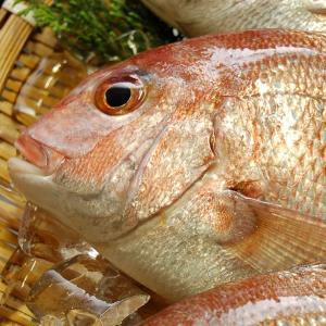 天然・真鯛(下処理済み・冷凍) 1尾 約48-50cm (浜坂産) (たい・タイ)|matubagani