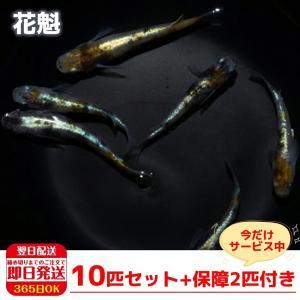 花魁 稚魚10匹