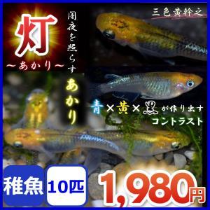 メダカ/灯メダカ 稚魚10匹  黄幹之 灯めだか あかりメダカ