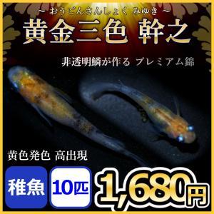 メダカ/ 黄金三色幹之めだか  稚魚10匹 三色錦メダカ