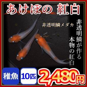 メダカ/ あけぼの紅白 メダカ  稚魚10匹 紅白めだか 更紗