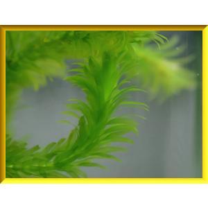 アナカリス/オオカナダモ 10本 水草 金魚藻の詳細画像1