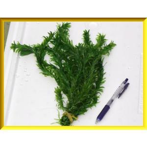 アナカリス/オオカナダモ 10本 水草 金魚藻の詳細画像2