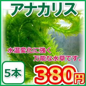 アナカリス/オオカナダモ 5本 水草 金魚藻の商品画像