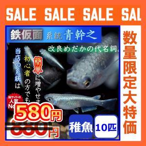 メダカ/鉄仮面系統青幹之メダカ/青みゆきメダカ 稚魚10匹