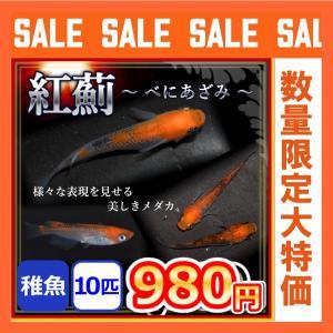 紅薊メダカ/ベニアザミめだか 稚魚10匹/紅薊めだか