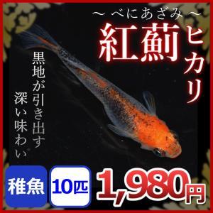 紅薊ヒカリメダカ/ベニアザミヒカリめだか 稚魚10匹/紅薊ヒカリめだか