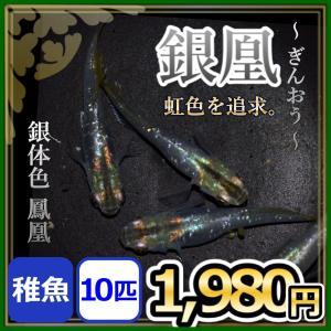 メダカ/ 銀凰めだか  稚魚10匹 /鳳凰メダカ