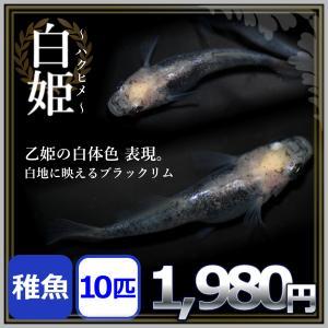メダカ/白姫めだか 稚魚10匹 /白姫メダカ