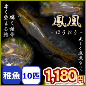 メダカ/鳳凰めだか 稚魚 10匹