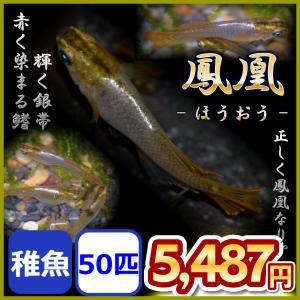 メダカ/鳳凰めだか 稚魚 50匹