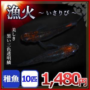 メダカ/漁火めだか 稚魚10匹 /漁火メダカ