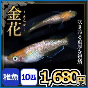 メダカ/金花めだか 稚魚10匹 /金花メダカ