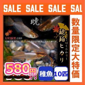 メダカ/琥珀ヒカリめだか 稚魚10匹 暁メダカ