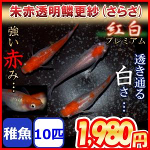 更紗/紅白めだか 稚魚10匹 更紗メダカ