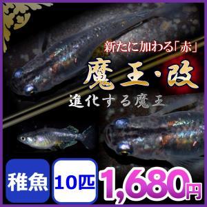 メダカ/魔王改めだか 稚魚 10匹