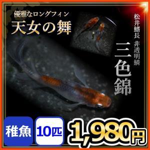 メダカ/ 松井ヒレ長 三色錦メダカ 稚魚10匹 /松井鰭長非透明鱗三色メダカ