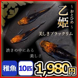 メダカ/ 乙姫めだか  稚魚10匹 /おとひめメダカ ブラックリムメダカ
