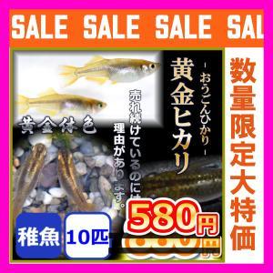 メダカ/秀吉 黄金ヒカリめだか 稚魚10匹