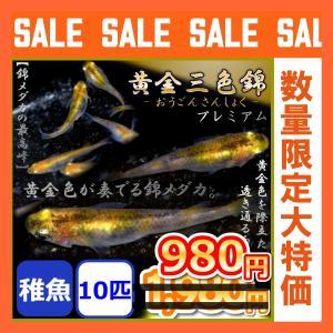 メダカ/黄金三色錦めだか 稚魚10匹