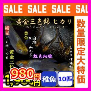 メダカ/黄金三色錦ヒカリめだか 稚魚10匹