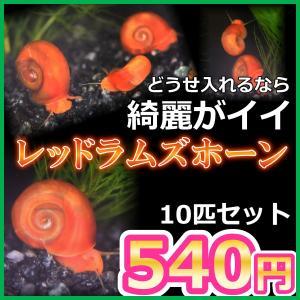 ■-----特徴-----■ 綺麗な赤い水槽掃除貝。 食べ残しからコケまでどんどん食べてくれます。 ...