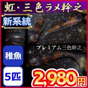 メダカ/新系統 虹・三色ラメ幹之めだか 稚魚5匹