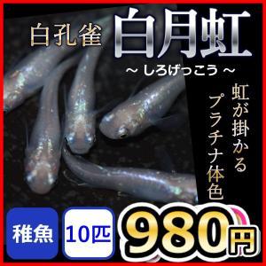 メダカ/白月虹メダカ  稚魚10匹/白月虹めだか 螺鈿光