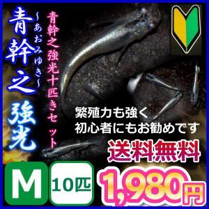送料無料/ 青幹之めだか 強光〜Mサイズ10匹セット/ メダカ
