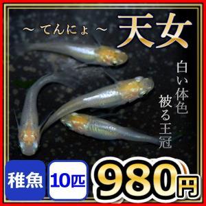 天女メダカ/天女めだか 稚魚10匹/