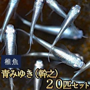 メダカ / 送料無料 青みゆき(幹之)めだか 未選別 稚魚 SS-Sサイズ 20匹セット / 鉄仮面...