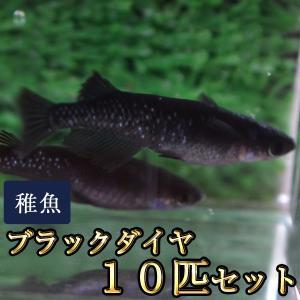 メダカ / ブラックダイヤ / オロチラメめだか 未選別 稚魚 SS-Sサイズ 10匹セット